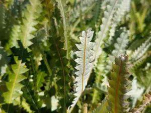 Banksia prionotes Dwarf