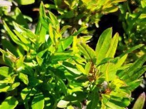 Billadiera heterophylla