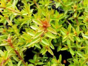 Hemiandra pungens Purpurea