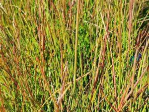 Juncus pauciflorus