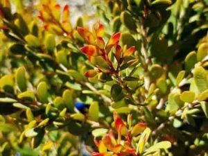 Melaleuca nesophila Little Nessie