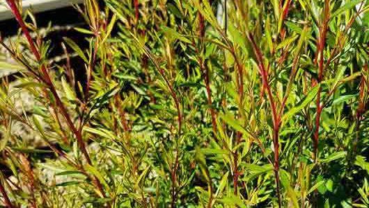 Taxandria linearifolia