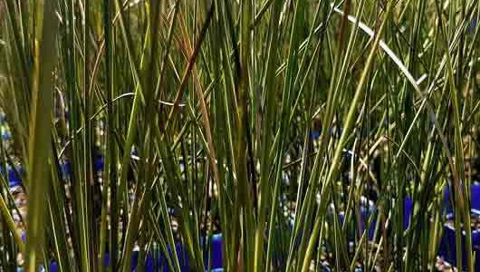 Range highlight: wetland rushes and sedges